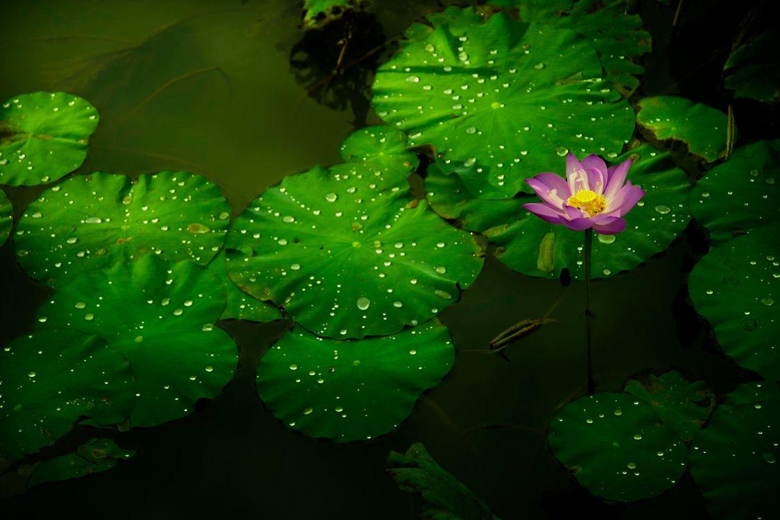 Цветок лотоса и речка · бесплатное фото