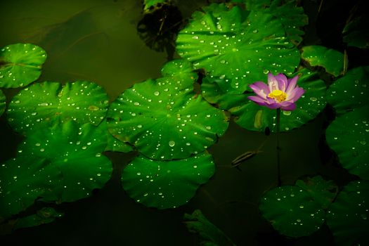 Цветок лотоса и речка