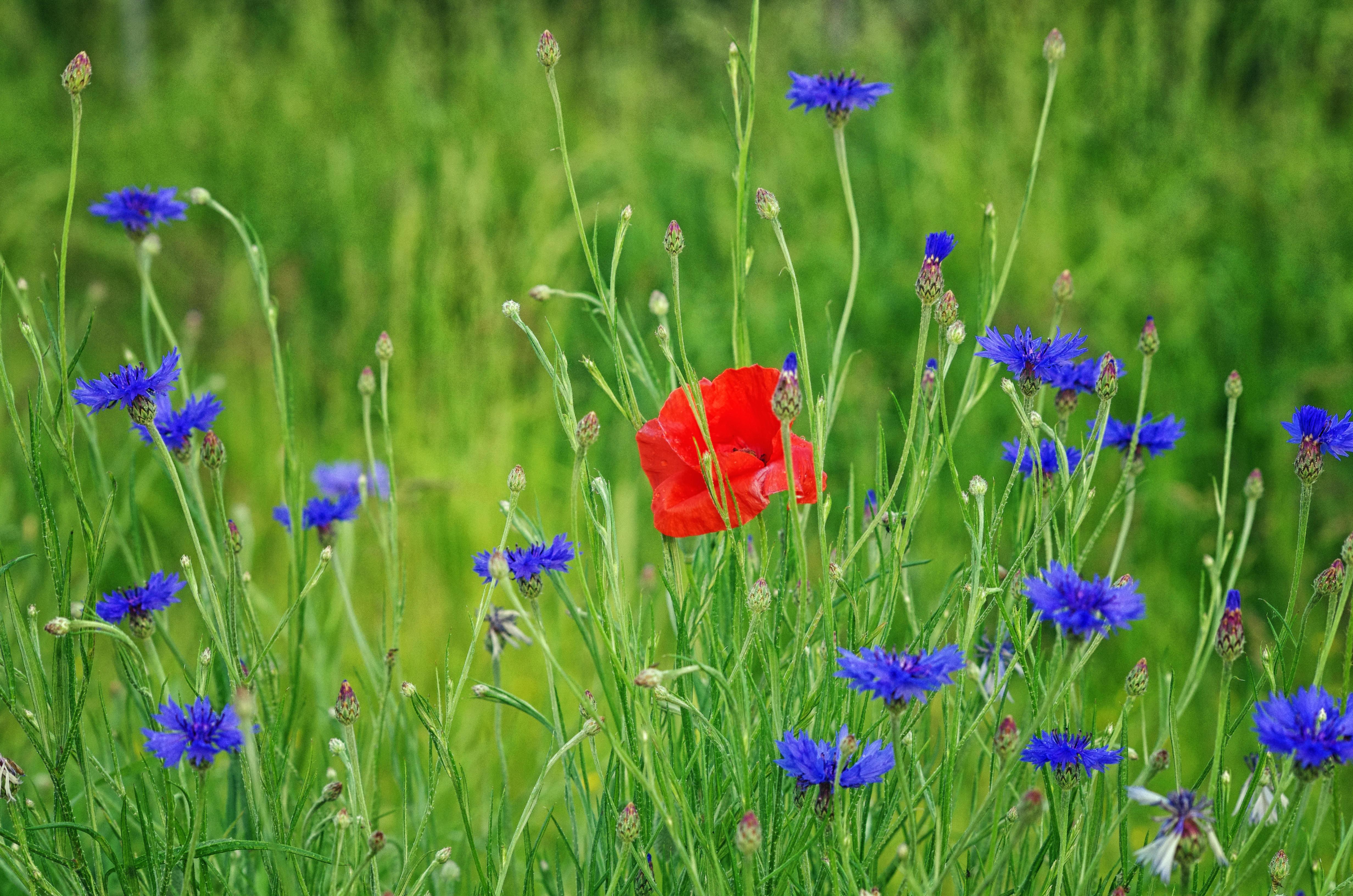 Обои поле, цветы, васильки, мак