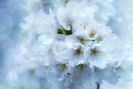 Заставки Spring Blossoms, цветы, цветок