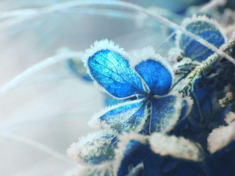 Фото бесплатно гортензия, мороз, близко