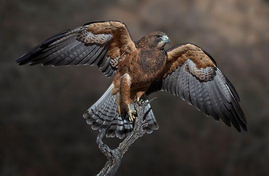 Фото бесплатно птица, Falcon, крылья