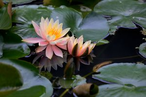 Download beautiful live wallpapers of water lilies, water lilies