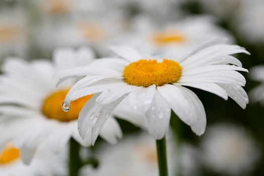 A drop of rain on Daisy