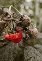 Бесплатные фото малина, ягоды, кусты, raspberry, berry, bush