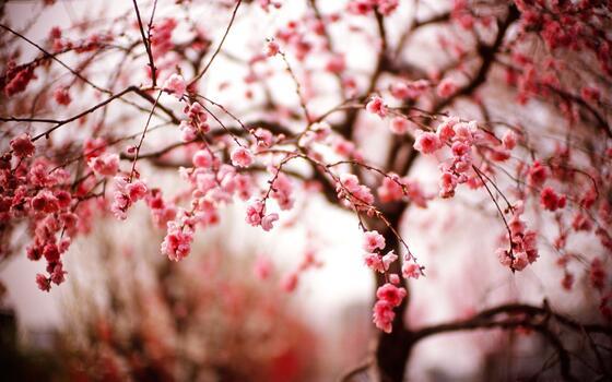 Photo free wallpaper cherry blossom, branches, blurred