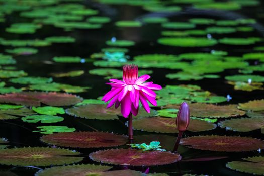 The picture water lilies, water lily on the phone