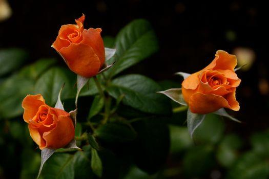 Три желтых розы