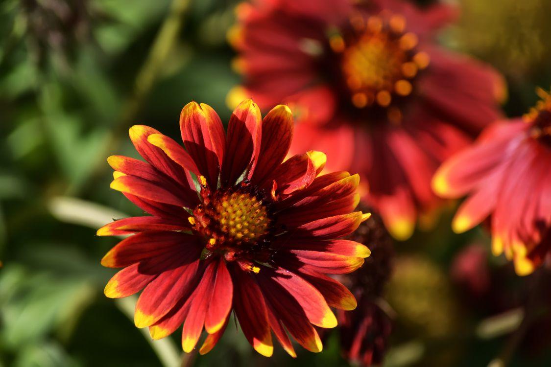 Фото бесплатно цветы красный макросъемка - на рабочий стол
