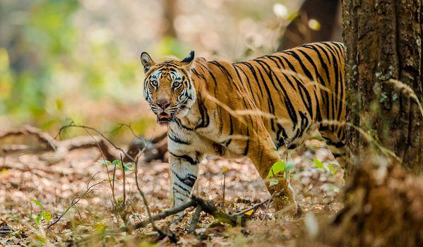 Фото бесплатно зверь, тигр, большая кошка