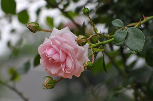 Photo free rose rose, branch, leaves