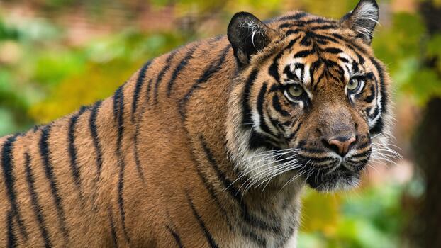 Фото бесплатно большие кошки, дикая природа, полосы
