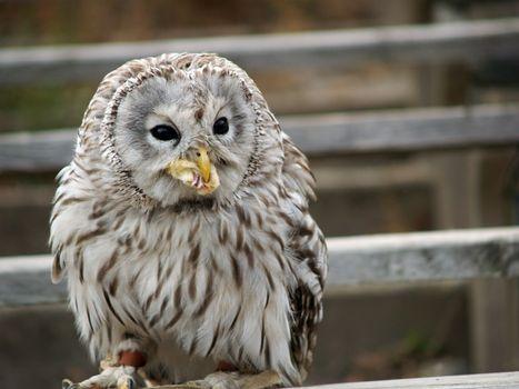 Photo free owl, predator, the prey