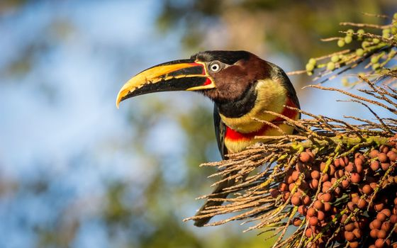 Photo free toucan, wild birds, blurred background