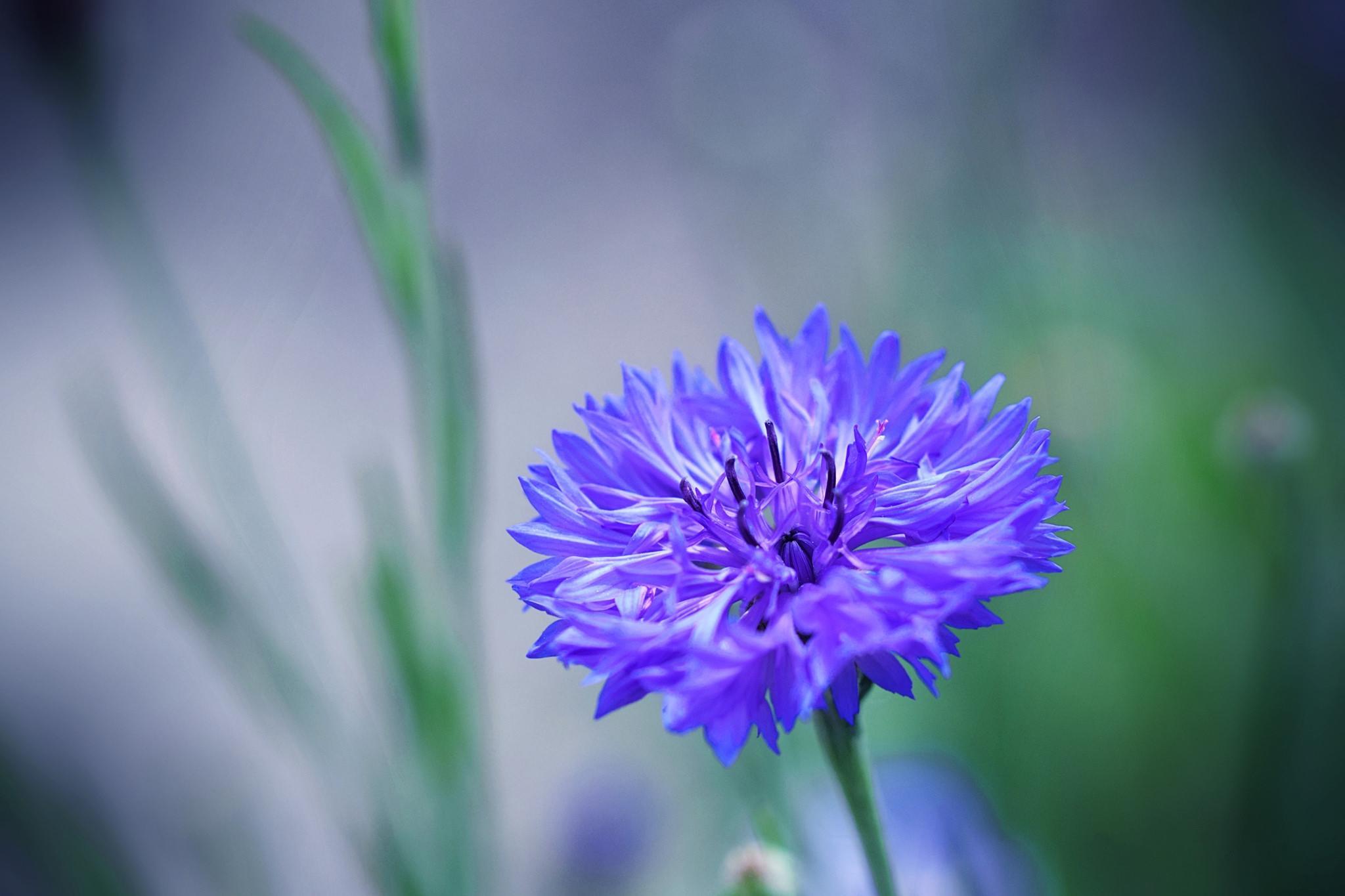 Обои цветок, василёк, флора, макро