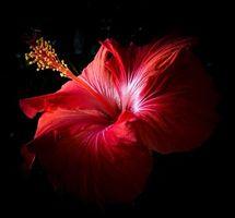 Бесплатные фото Гибискус,цветок,макро,чёрный фон,флора