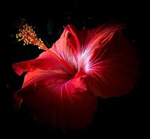 Фото бесплатно Гибискус, цветок, макро