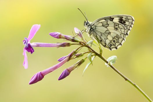 Photo free butterfly, buds, close