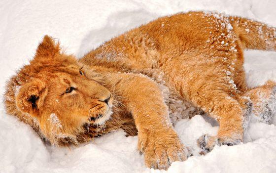 Фото бесплатно лев, снег, лежа