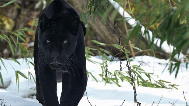 Photo free panther, black, black cat