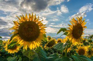 Фото бесплатно поле, цветы, подсолнухи