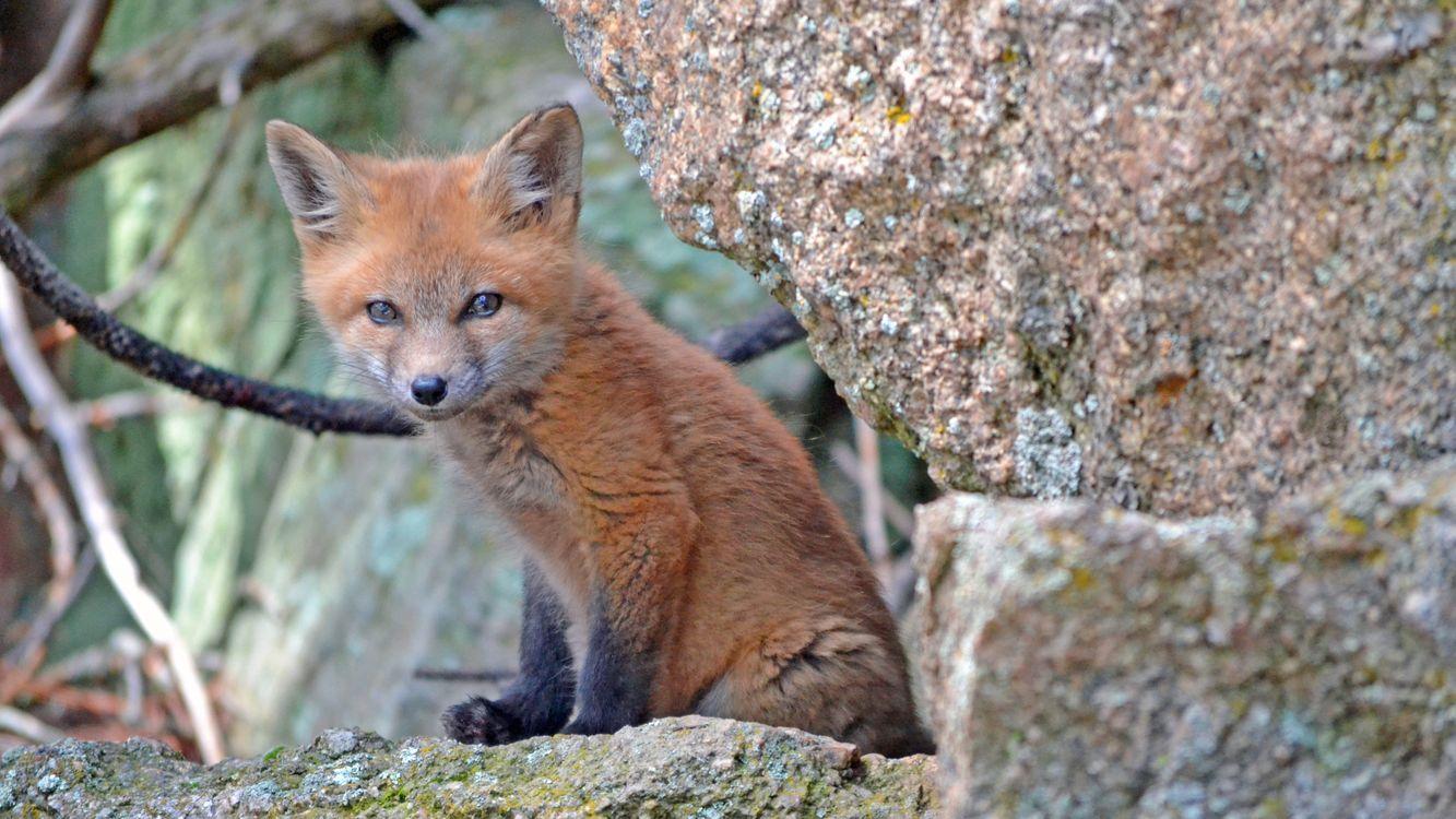 Фото дикая природа лиса фауна - бесплатные картинки на Fonwall