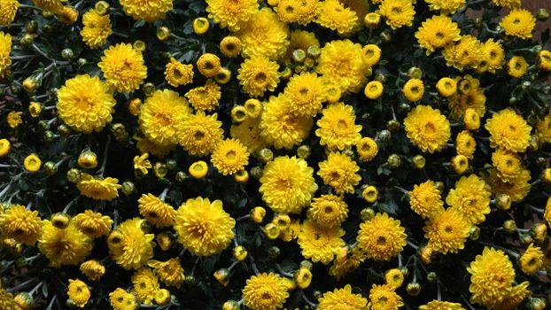 Фото бесплатно жёлтые цветы, хризантемы, сад