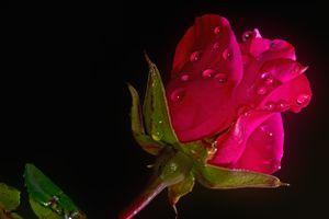 Роза и капли дождя