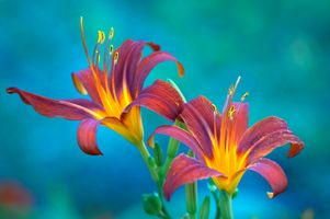 Photo free lily, flower, macro