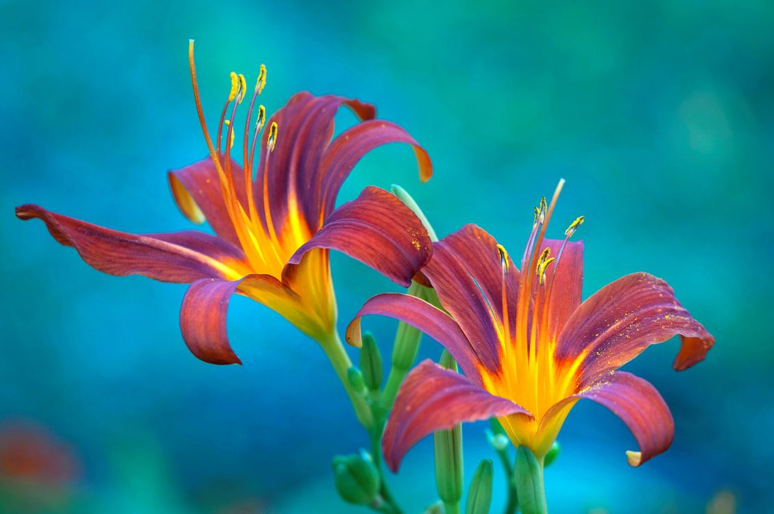 Free photo lily, flower, macro, flower composition, flora, beautiful, color - to desktop