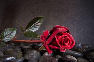 роза на камнях