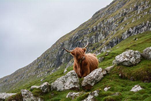 Заставки Скотланд, корова, животное