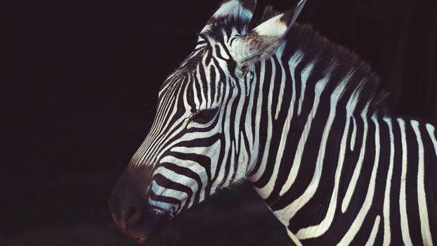 Фото бесплатно зебра, вид в профиль, близко