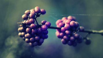 Фото бесплатно ягоды, ветка, природа