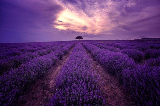 Photo free lavender, sunset, lavender field