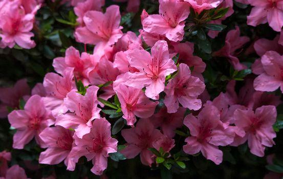 Photo free Satsuki azalea, flowers, floral background