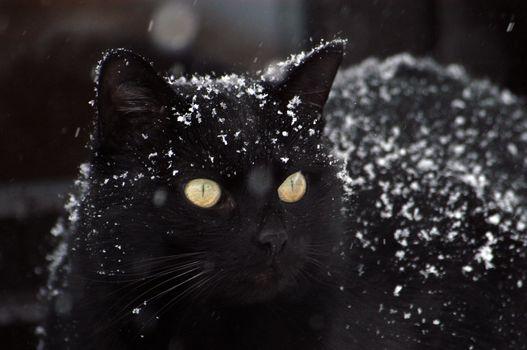 Фото бесплатно черная кошка, снег, величественная