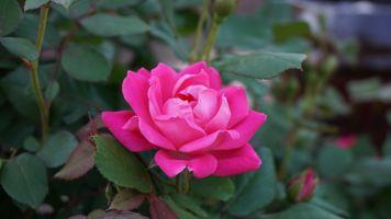 Бесплатные фото роза,куст,дикая,природа,розы,цветок,цветы