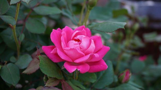 Фото бесплатно роза, куст, дикая