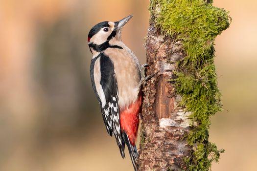 Photo free tree, woodpecker, bark