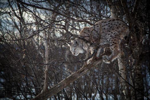 Фото бесплатно рысь, большие кошки, ветви