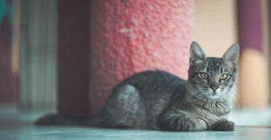 Бесплатные фото кошки,кот,серый,отдых,лежит,наблюдает