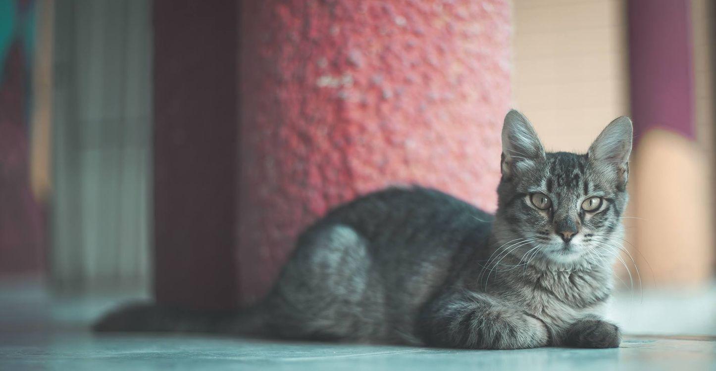 Фото бесплатно кошки, кот, серый - на рабочий стол