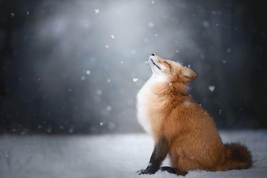 Fox Enjoys Falling Snow