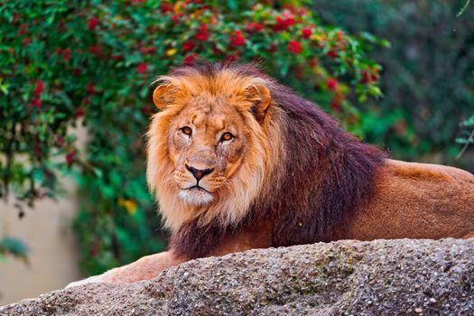 Фото бесплатно Лев, лежать, мех