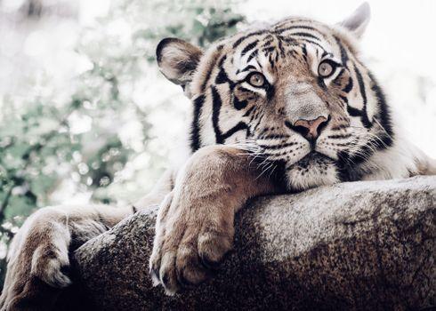 Фото бесплатно тигр, большая кошка, морда