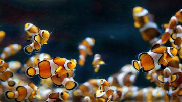 Фото бесплатно анемоновая рыба, биология, биология моря