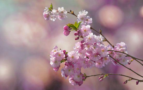 Фото бесплатно цветущая ветка, цветы, флора