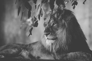 Фото бесплатно лев, монохромный, ветвь