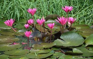 Фото бесплатно водоём, цветы, водяные лилии